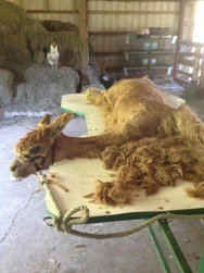 Alpaca on a shearing table