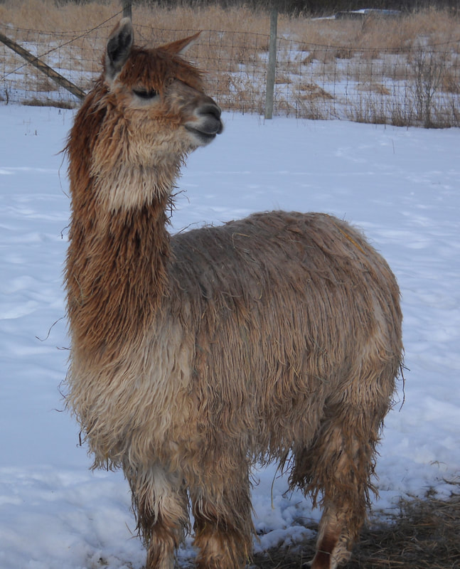 Show-winning Suri Alpaca in Michigan